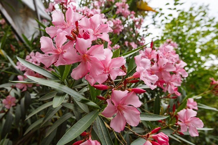 Олеандр обыкновенный — благоухающий кустарник для вашего сада