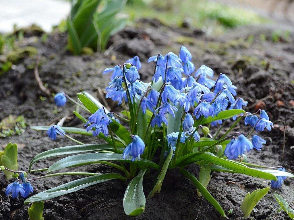Пролеска или сцилла (цветы для сада)