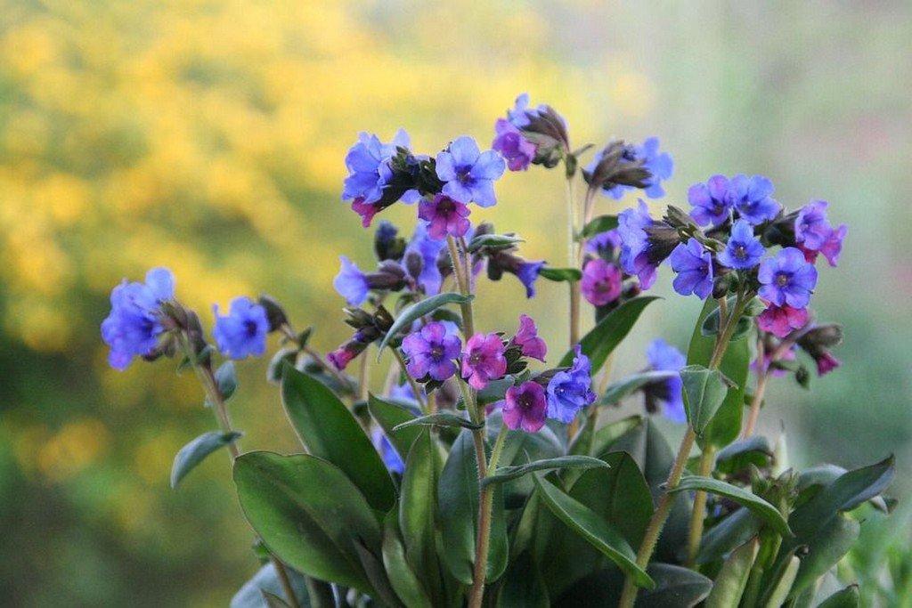 Медуница (цветы для сада)