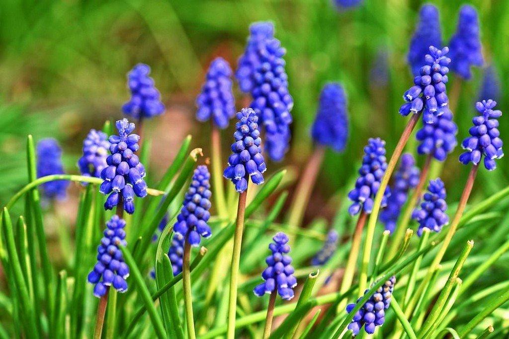 Мускари (цветы для сада)