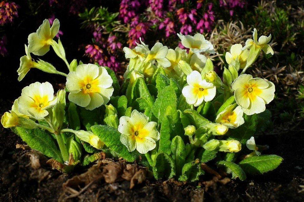 Примулы (цветы для сада)