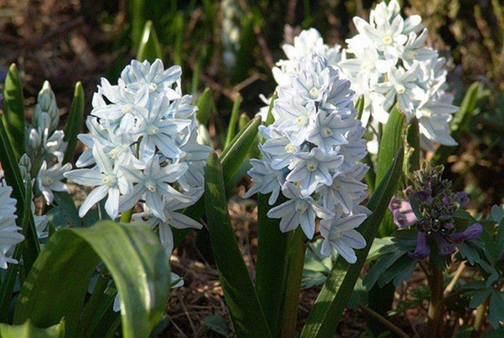 Пушкиния (цветы для сада)