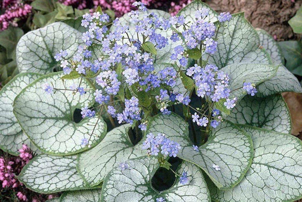 Бруннера (цветы для сада)