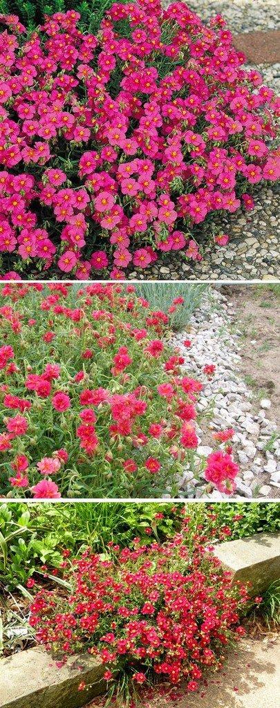 Цветок солнцецвет гибридный (гелиантемум)