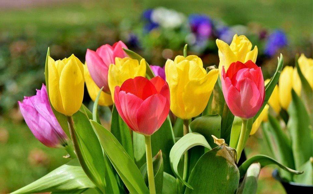 Тюльпан (цветы для сада)
