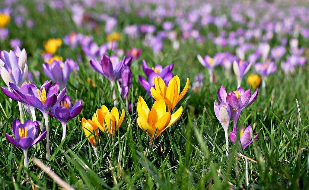 Крокус (цветы для сада)